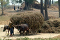 Buffalo carts towed in myanmar field mandalay march unidentified farmer on their cart carrying of crops from the farm to a village Royalty Free Stock Photos