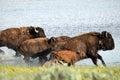 Buffalo charge Royalty Free Stock Photo
