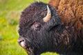 Buffalo close-up Royalty Free Stock Photo