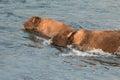 Buffalo crossing river