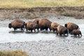 Buffalo crossing the river in Yellowstone