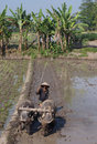 Buffalo farmer ploughing rice paddies with water buffaloes in klaten central java indonesia Stock Photos