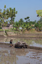Buffalo farmer ploughing rice paddies with water buffaloes in klaten central java indonesia Stock Photo