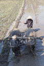 Buffalo farmer ploughing rice paddies with water buffaloes in klaten central java indonesia Royalty Free Stock Images