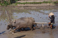 Buffalo farmer ploughing rice paddies with water buffaloes in klaten central java indonesia Royalty Free Stock Image