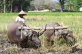 Buffalo a farmer plowing his field with the use of in klaten central java indonesia Royalty Free Stock Image