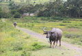 Buffalo in Flores Indonesia Royalty Free Stock Images