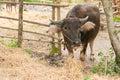 Buffalo graze neat stall thai Royalty Free Stock Photos