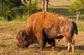 Buffalo grazing a grazes in a meadow Royalty Free Stock Photography