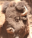 Buffalo head large shot of bison Stock Image