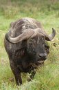 Buffalo in long green grass Royalty Free Stock Photo