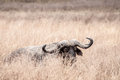 Buffalo lying down a in the dry grass of the ngorongoro crater with eyes closed Stock Images