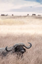 Buffalo lying down in grass a the dry of the ngorongoro crater with eyes closed Stock Photos