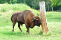 Buffalo male polish bison in the wild Royalty Free Stock Photo