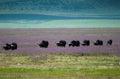 Buffalo migration Ngorongoro crater, Tanzania Royalty Free Stock Photo