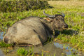 Buffalo in the mud at fiend Royalty Free Stock Photo