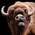 Buffalo with open mouth Royalty Free Stock Photos