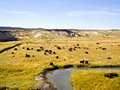 Buffalo at Oxbow Bend Yellowstone Stock Photos