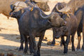 Buffalo with oxpeckers Royalty Free Stock Photo
