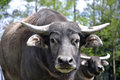 Buffalo portrait of swamp bubalus bubalis the most important domesticated animal to man found on the indian subcontinent to Royalty Free Stock Image
