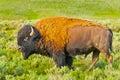 Buffalo profile Royalty Free Stock Photo