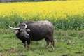 Buffalo in the rape flower in spring Royalty Free Stock Images