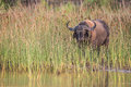 Buffalo in reeds on waters edge south africa a Royalty Free Stock Images