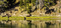 Buffalo reflections in the yellowstone river Royalty Free Stock Photo