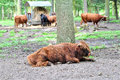 Buffalo resting by tree Royalty Free Stock Photography