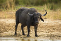 Buffalo on river bank South Africa Royalty Free Stock Photo