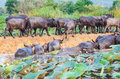 Buffalo in the river cape eating green plants Stock Images