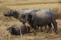 Buffalo's family Royalty Free Stock Photo