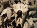 Buffalo skullls at Head-Smashed-In Buffalo Jump Royalty Free Stock Photo