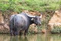 Buffalo in swamp Royalty Free Stock Photo