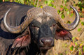 Buffalo (Syncerus caffer) in the wild Stock Photos