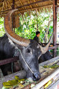 Buffalo thai with big horn eating grass Stock Images
