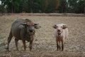 Buffalo thailand to labor on the farm Royalty Free Stock Photography