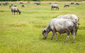 Buffalo in thailand walking on grass Stock Image