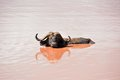 Buffalo from tsavo national park kenya with horns in red water an oasis east photo taken Royalty Free Stock Image