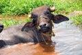 Buffalo in Water Royalty Free Stock Photo