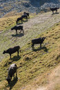 Buffaloes grazing on steep slope Royalty Free Stock Photo