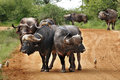 Buffaloes on the way Royalty Free Stock Photo