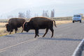 Buffalos on the road Royalty Free Stock Photo