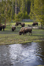 Buffalos in Yewllostone Royalty Free Stock Photo