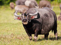 Buffel Royaltyfria Bilder