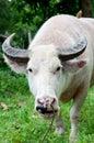 Buffle albinos (buffle blanc) mangeant l'herbe Image libre de droits