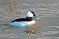 Bufflehead Royalty Free Stock Photo