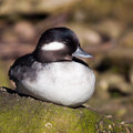 Bufflehead (Bucephala albeola) Royalty Free Stock Images