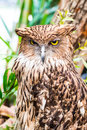 Buffy fish owl Stock Photography