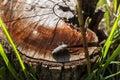 Bug on cut old oak tree log Royalty Free Stock Photo
